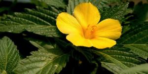 Đông hầu hoa vàng