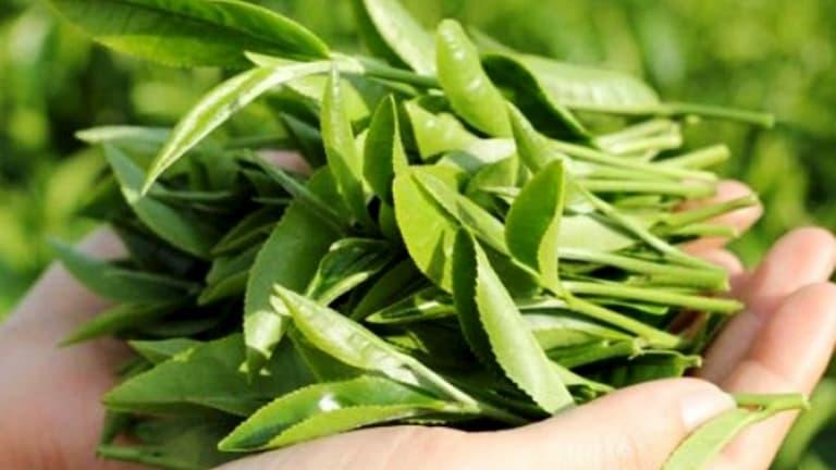 Lá trà xanh cũng được sử dụng chữa bệnh hiệu quả