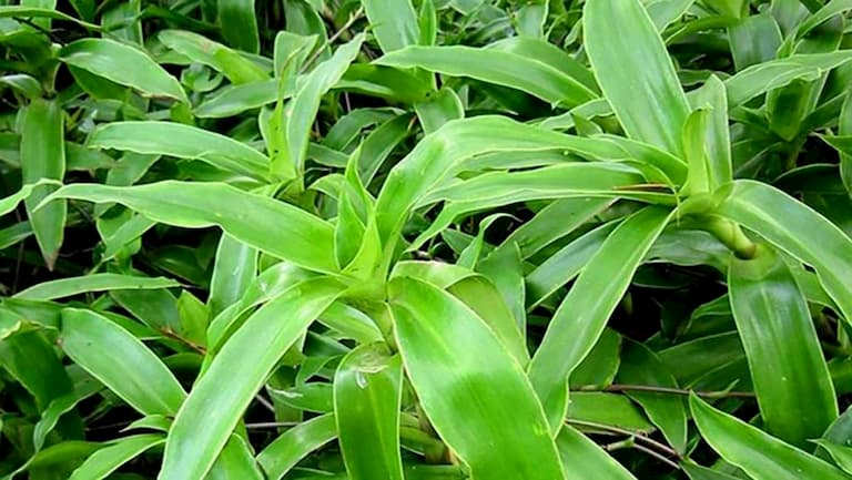 Cây lược vàng được dùng trị vảy nến an toàn mà hiệu quả