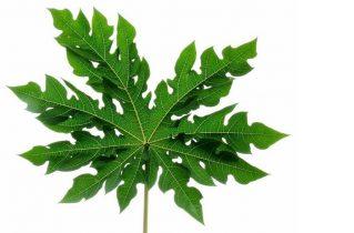 chữa viêm da cơ địa bằng lá đu đủ