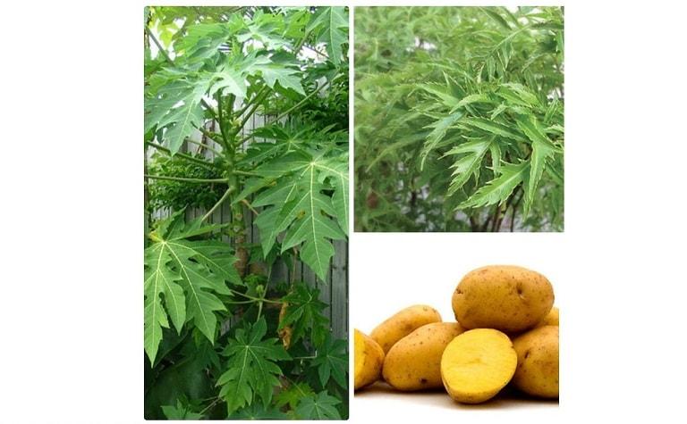 Kết hợp lá đu đủ với nhiều nguyên liệu khác để tăng hiệu quả chữa bệnh