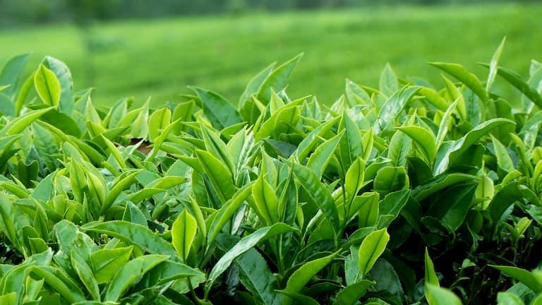 Lá trà xanh được dùng trị bệnh chàm khá nhiều