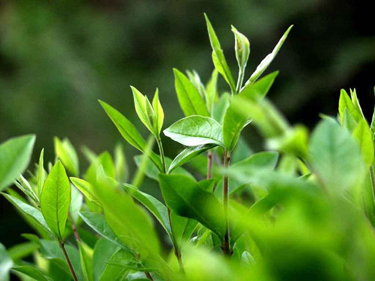 Tắm nước lá trà xanh để loại bỏ mụn lưng
