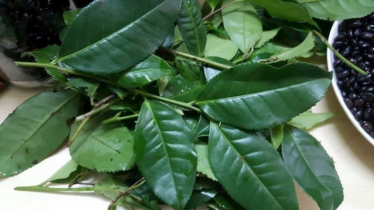 Cách trị ngứa da toàn thân bằng lá trà xanh