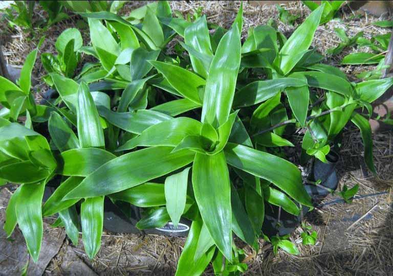Giảm ngứa nhanh với cách trị viêm da cơ địa tại nhà với cây lược vàng