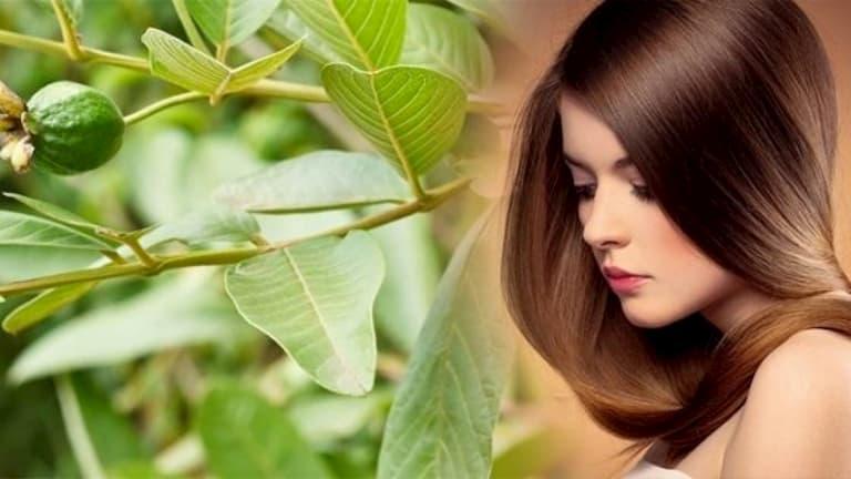 Cách trị rụng tóc bằng lá ổi hiệu quả