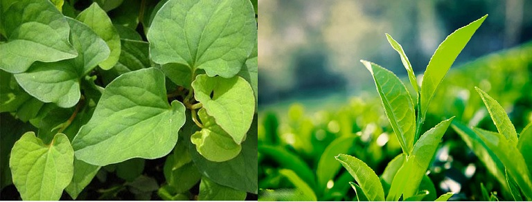 Nấu nước trà xanh và rau diếp cá để trị mụn