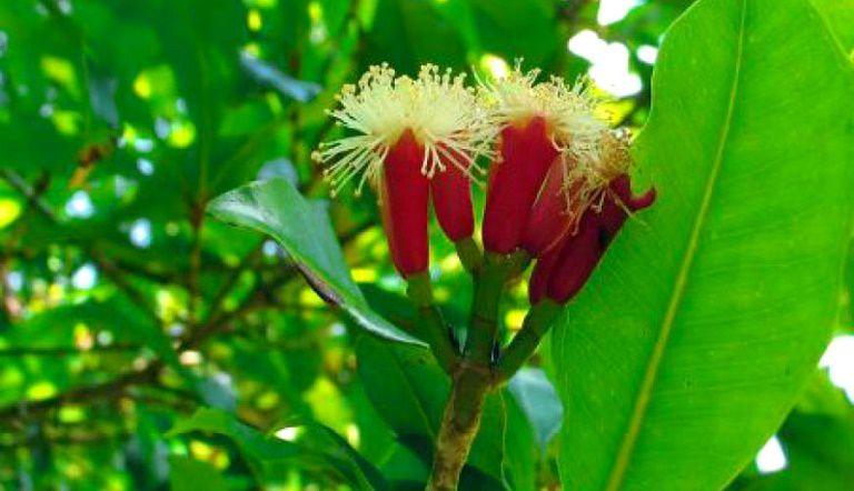 Cây đinh hương là một gia vị thường dùng, cũng là một dược liệu